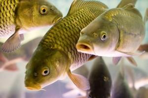 Рыбное хозяйство как организовать