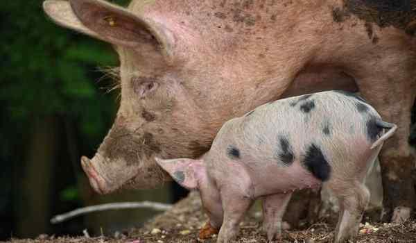 К чему сниться свинья большая