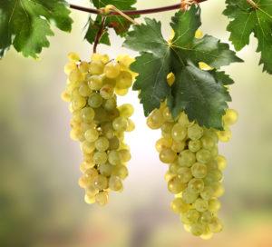 Веточки винограда вместе с ягодами