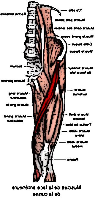 muscle sartorius 25956