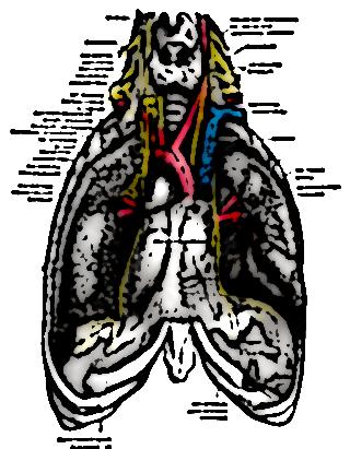nerf phrenique 30517