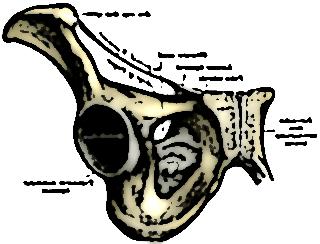symphyse pubienne 15125