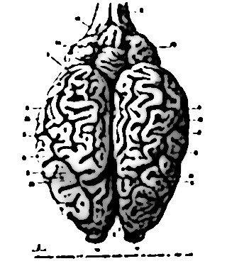 cervelet 1551