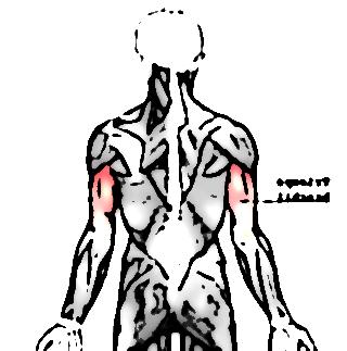 triceps brachial 667