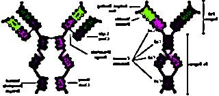 analyse immunoglobulines sang 5219