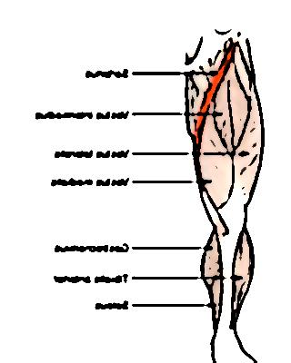 muscle sartorius 11344