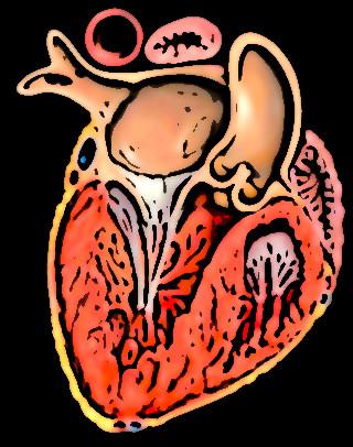 ventricule gauche 1