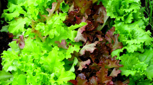 Supermarkets ration lettuce after bad weather hits ...