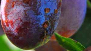 Eating Prunes Can Help Weight Loss : Conscious Life News