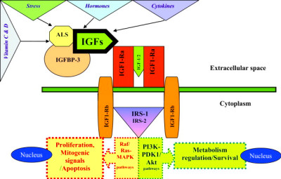 Insulin-Like Growth Factor System and Sporadic Malignant ...