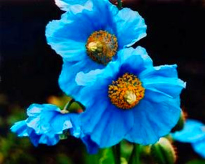 25 Poppy Flower Seeds. Himalayan Blue Poppies. Meconopsis ...