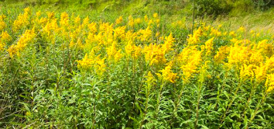 Late summer flowers for native pollinators   Derby Canyon Natives