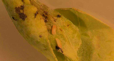 Florida Blueberry Growers on High Alert for Gall Midge ...