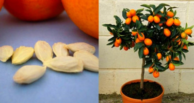 Do You Love Orange Juice? Grow Your Own Orange Tree from ...