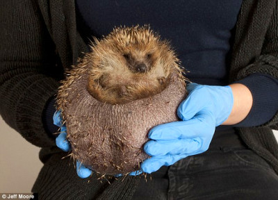 Hedgehog is put on diet after becoming too fat to carry on ...