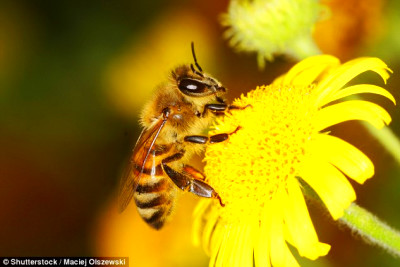 ... the fungicide lowers the energy levels for the bees' flight muscles