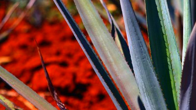 more exotic sweetener, agave nectar is created from the agave plant ...