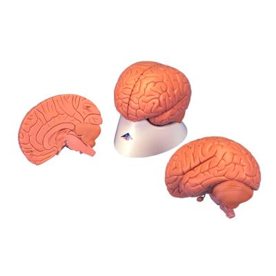 Classic brain model C15 for £67.24 in Brain anatomy model