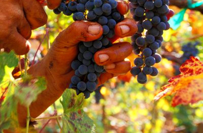 What Are the Health Benefits of Black Seedless Grapes ...
