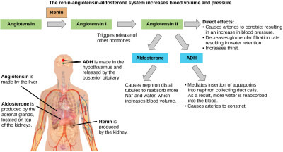 ADH and aldosterone increase blood pressure and volume. Angiotensin II ...