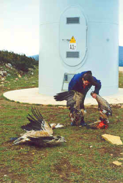 Griffon vultures killed by wind turbine, Spain – courtesy of GURELUR ...