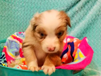 Shamrock Rose Aussies -  EXCITING NEWS!!! 2 Litters ...