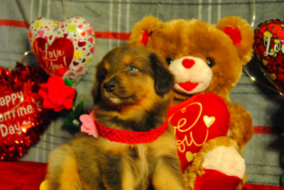 Shamrock Rose Aussies - Welcome to Shamrock Rose Aussies!! :) Exciting news!! Princess of the ...