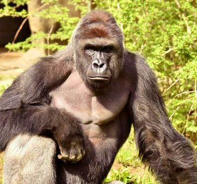 Killing of gorilla to save boy at Ohio zoo sparks outrage - Business ...