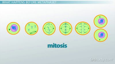 Interphase Steps | www.imgkid.com - The Image Kid Has It!