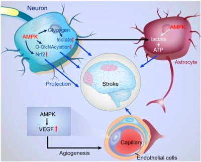 AMPK: Potential Therapeutic Target for Ischemic Stroke