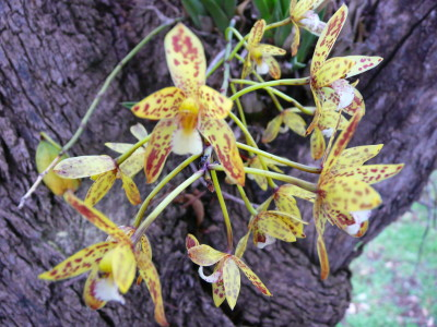 Queensland Orchids in Wikipedia | Queensland Orchid ...