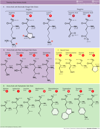 File:Amino acids.png - Wikipedia, the free encyclopedia