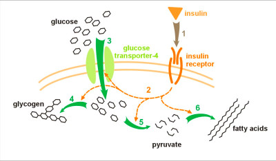 File:Insulin glucose metabolism.jpg - Wikimedia Commons