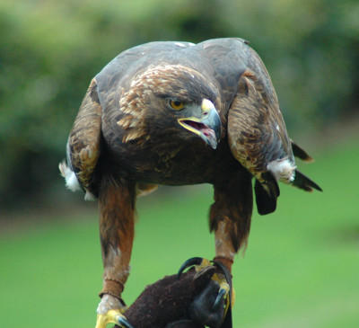 File:GoldenEagle-Nova.jpg - Wikipedia, the free encyclopedia