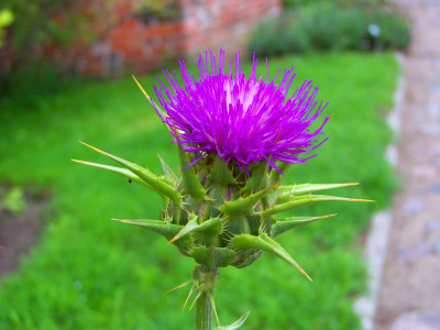 How Artichoke and Dandelion Compliment Silymarin in Liver Protection ...