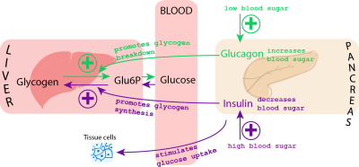 Description Blood glucose control.png