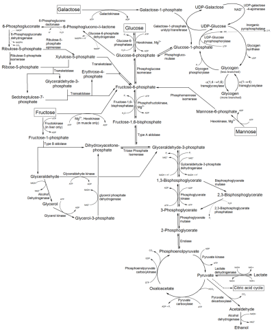 Metabolism of common monosaccharides, and related reactions.png