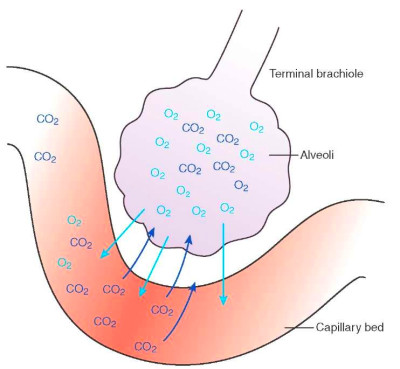 Diffusion of oxygen and carbon dioxide across the alveolar membrane ...