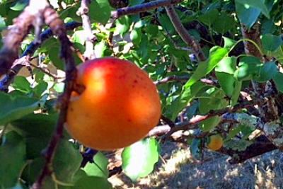 Fruit fly trapping ramped up after more insects caught in ...