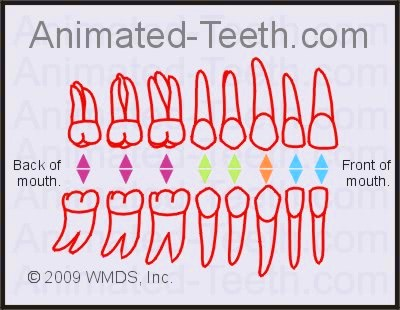 Human Dental Tooth Number Chart