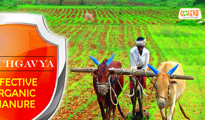 How Panchagavya Helps to cure Tuberculosis, Diabetes, AIDS ...
