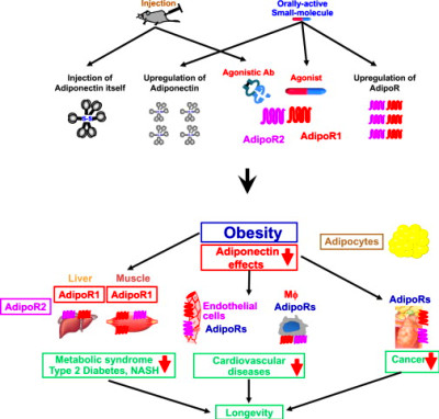 Adiponectin Receptor as a Key Player in Healthy Longevity and .