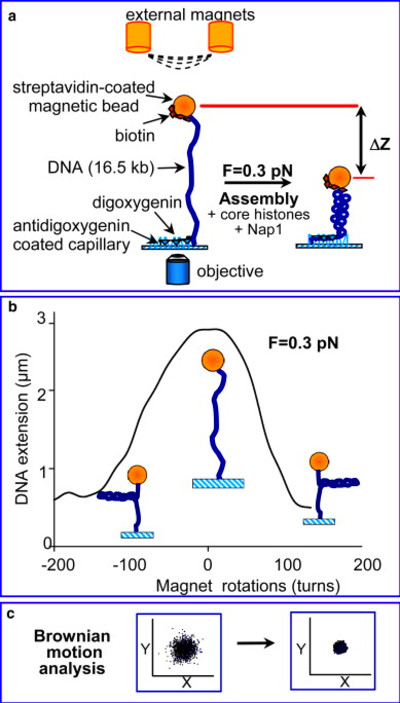 Nucleosome Assembly Depends on the Torsion in the DNA Molecule: A Magnetic Tweezers Study ...