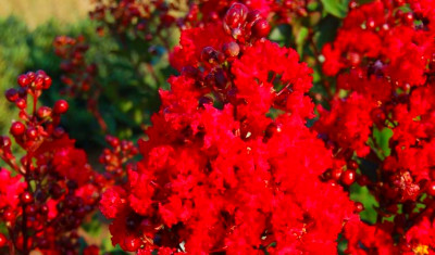 RED Tree Crape Myrtle (18' Brightest Cherry Red)