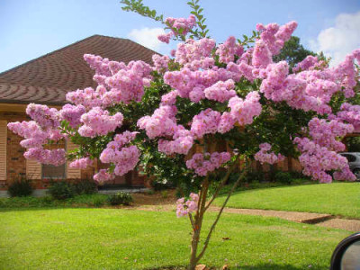 Pink Crepe Myrtle tree in full bloom on Fairfield Avenue, Photo by and ...