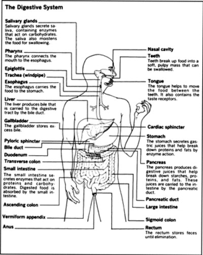 The human digestive system with their function | Diabetes Inc.