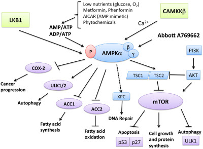 Target Cancer with AMPK activators | New Health Options