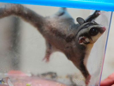 Meet Peanut, a sugar glider from Australia