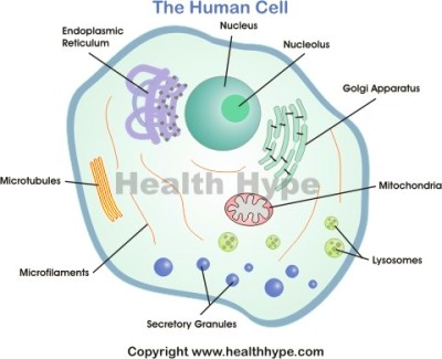 Red Blood Cell Diagram Labeled For Kids Diagram of the human cell