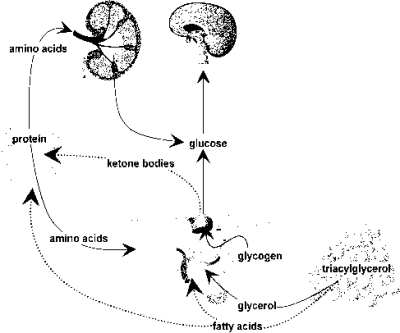 Figure 5.7 An overview of metabolism in the fasting state.